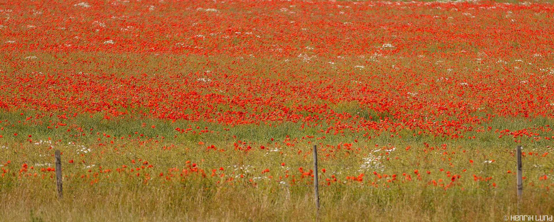 A field of red papavers in southern part of Gotland, Sweden, July, 2013.
