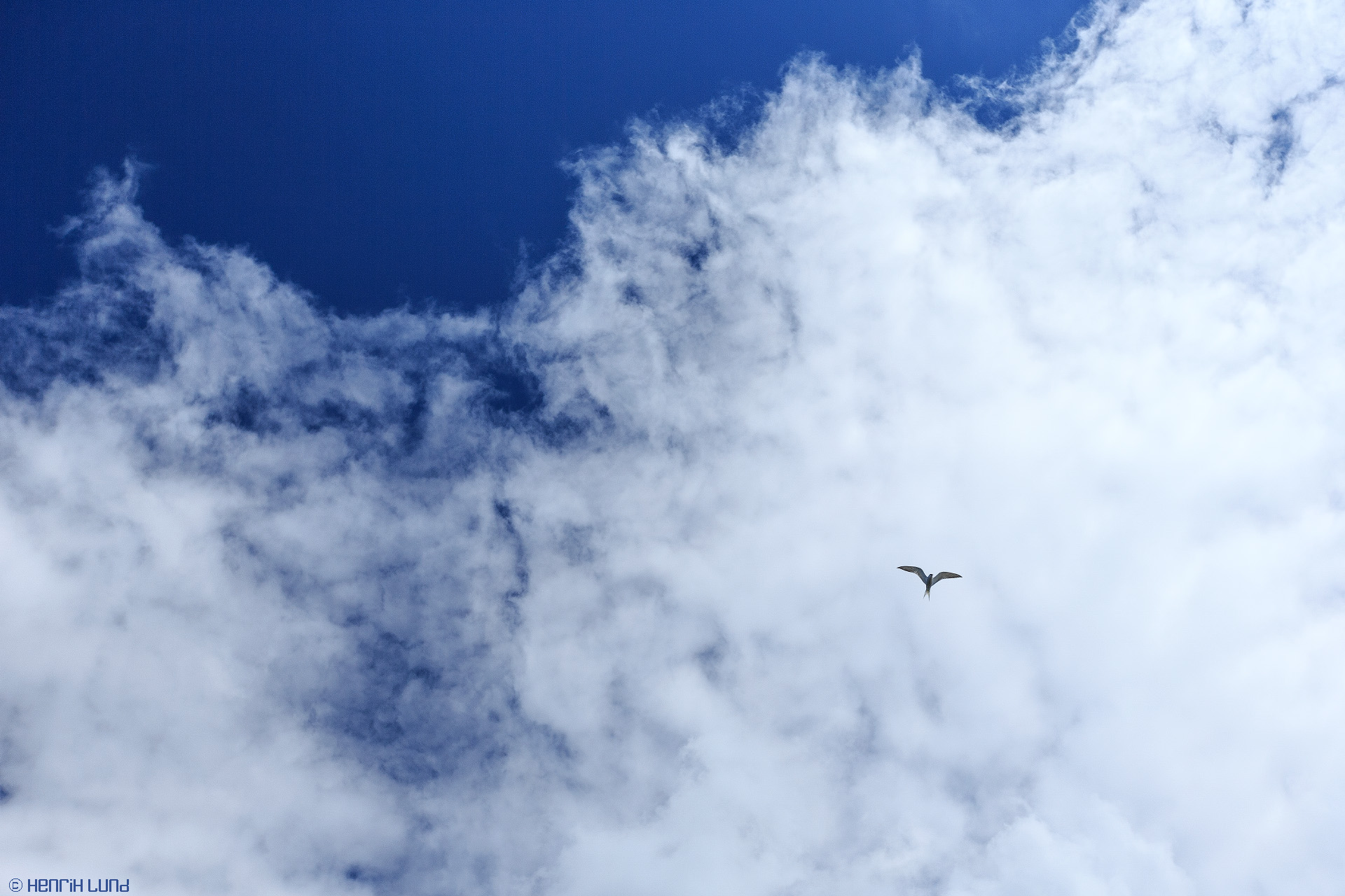 A common tern flying over against a summer sky. Stora Mistö, Raseborg, Finland, July 2013.