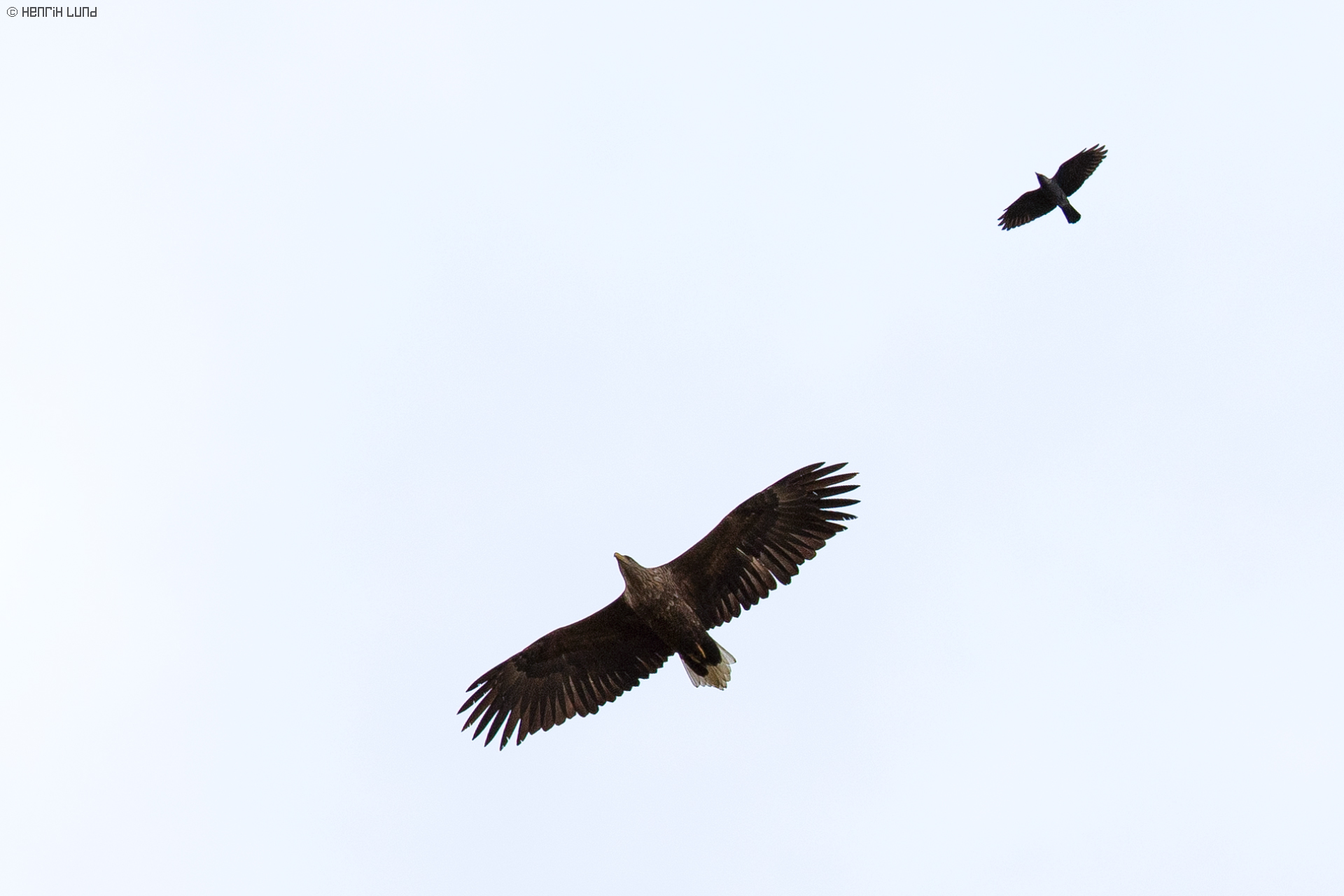 A white-tailed eagle and a western jackdaw making a fly-over, Lappträsk, Finland, October 2013.