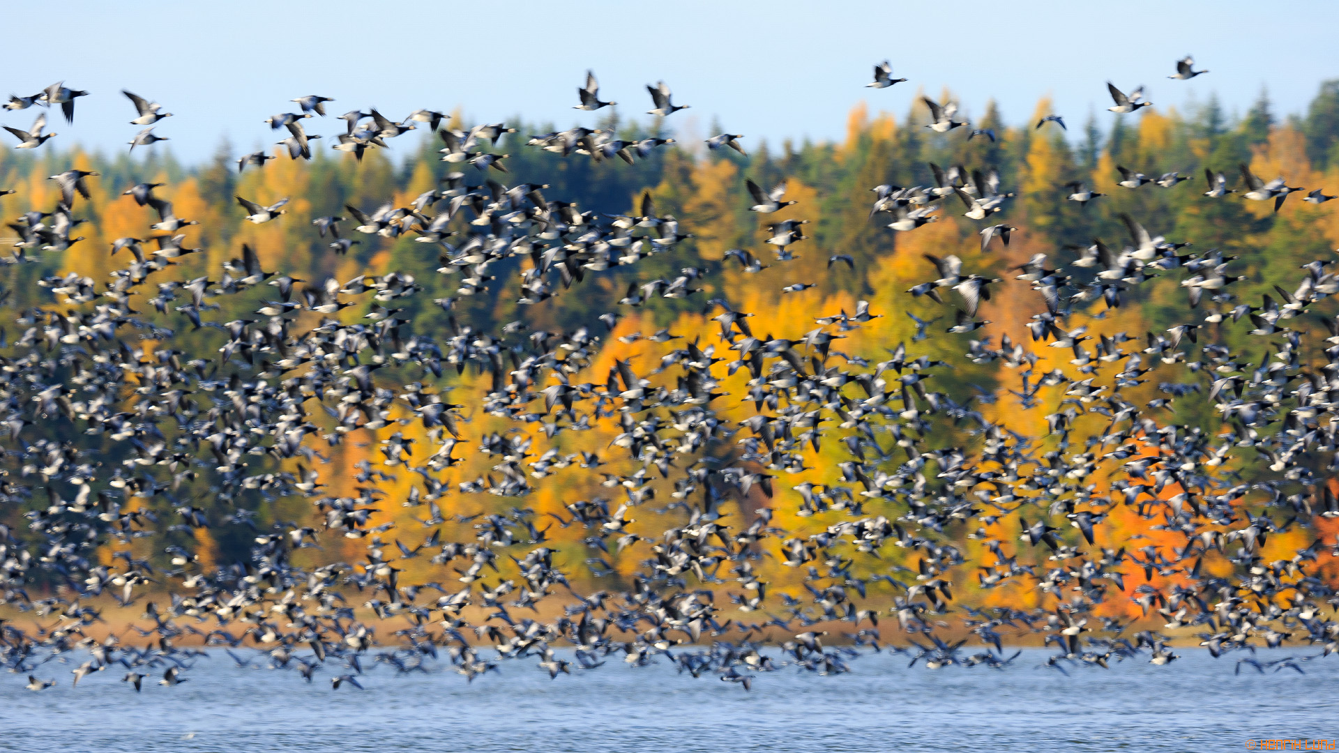 Thousands of barnacle geese gathering on the lake in the autumn afternoon, Lappträsk, Finland, October 2013.