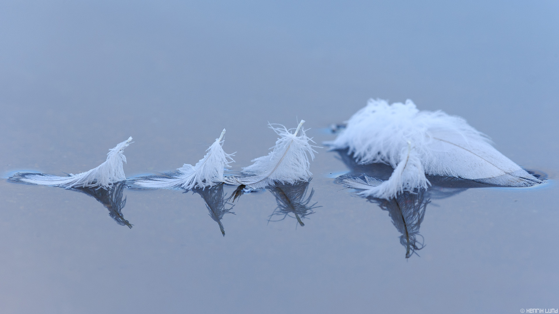 Feathers of whooper swans on the surface of the lake. Lappträsk, Finland.