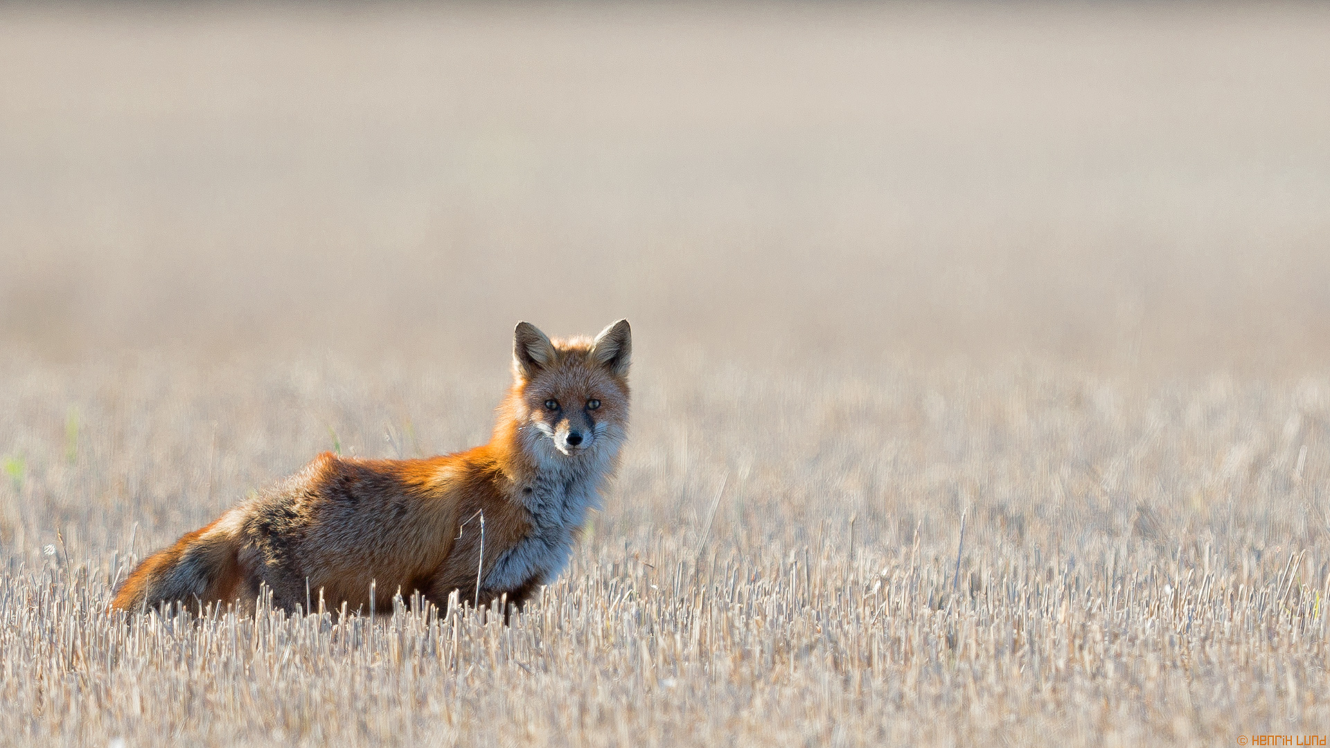 A red fox enjoying the last unprepared fields before the snow covers the ground.