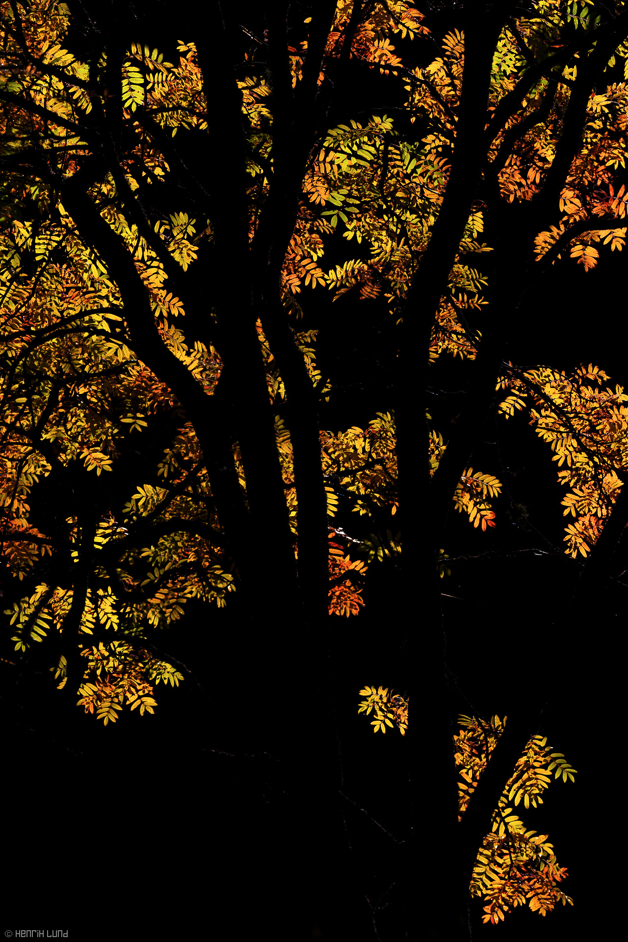 An european rowan backlit in the bricht autumn colors. Lappträsk, Finland, October 2013.