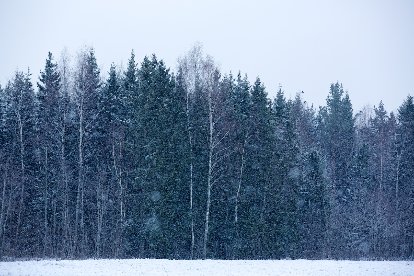 A flock of Black grouse (Tetrao tetrix) feeding in the snowfall on birch sprouts. Lappträsk, January 2014.