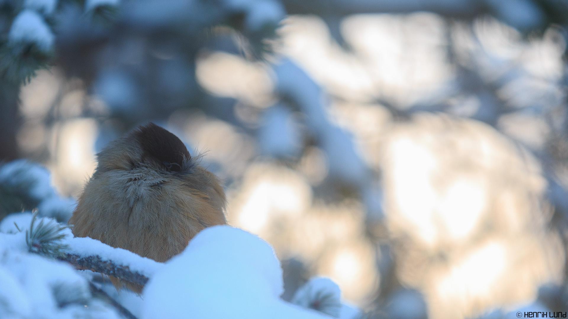 Siberian jay - Perisoreus infaustus - in beautiful morning light. Ruka, Kuusamo, Finland, February 2014.