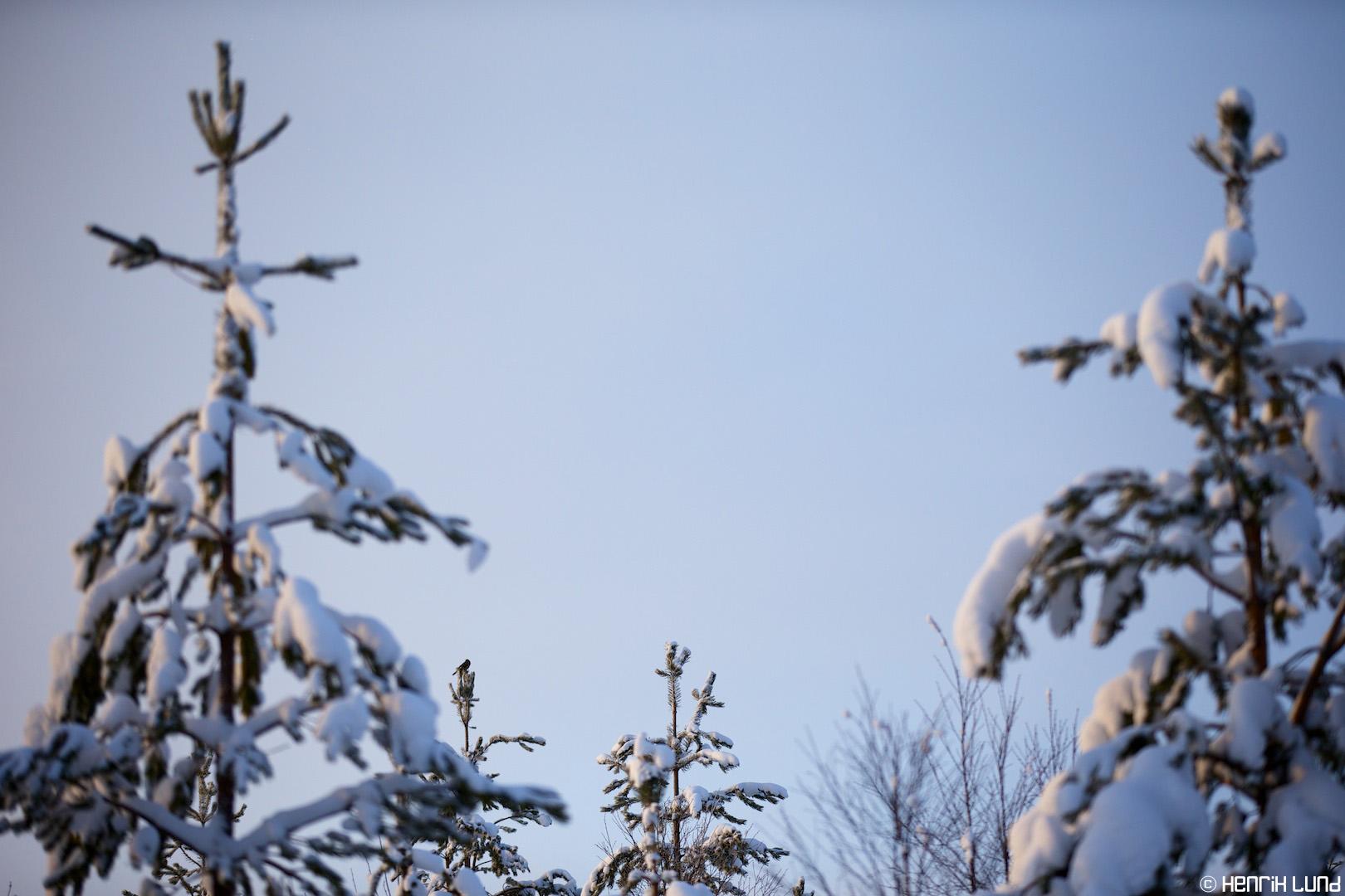 Perisoreus infaustus - Siberian jay, Ruka, Kuusamo, Finland, February 2014.