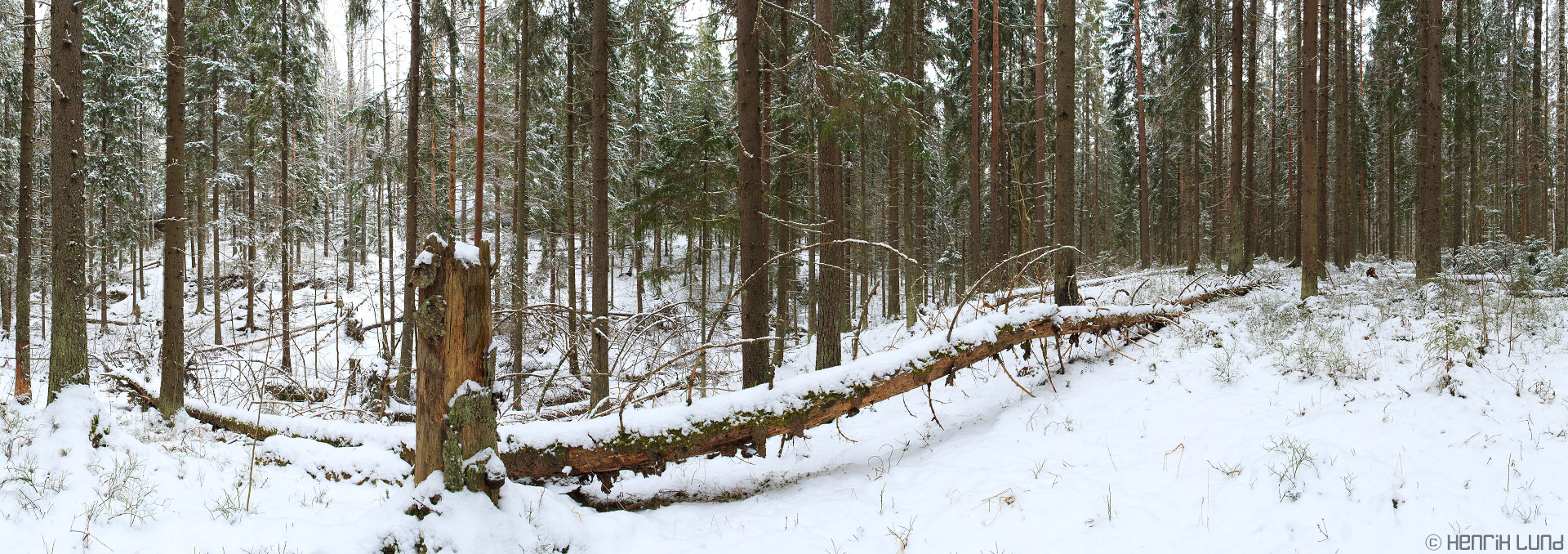 Panorama of a natural forest in last fresh snowcover in march 2014. Lappträsk, Finland