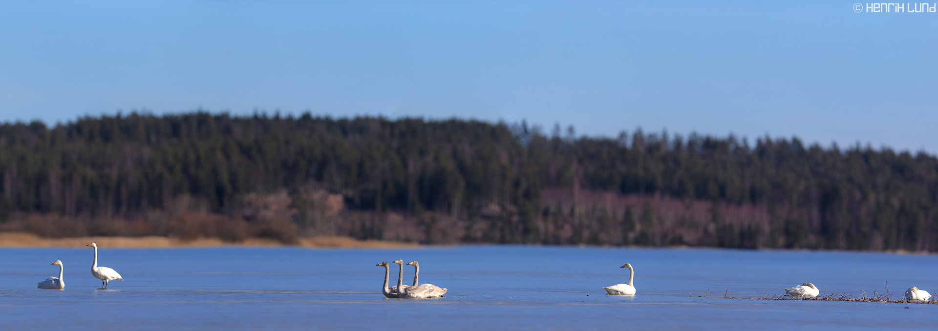 A flock of whooper swans resting a sunny day on the spring ice, Lappträsk, Finland, March 2014