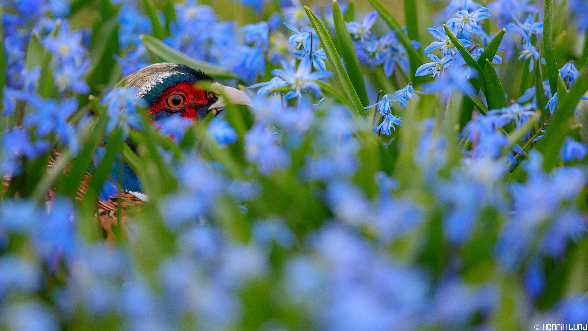 A pheasant seeking hide from its rivals in the blue flower mat on our yard. Lappträsk, Finland, April 2014.