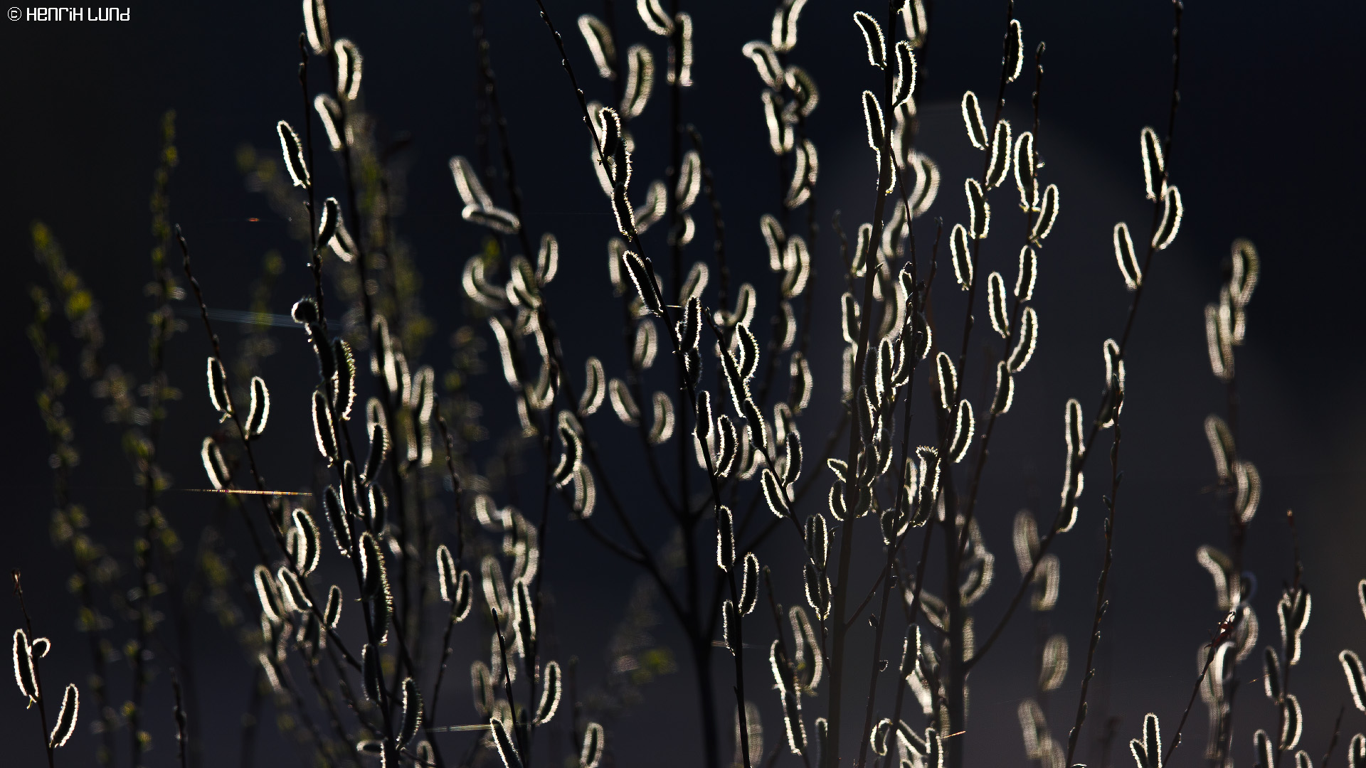 Salix in backlight. Lappträsk, Finland, April 2014