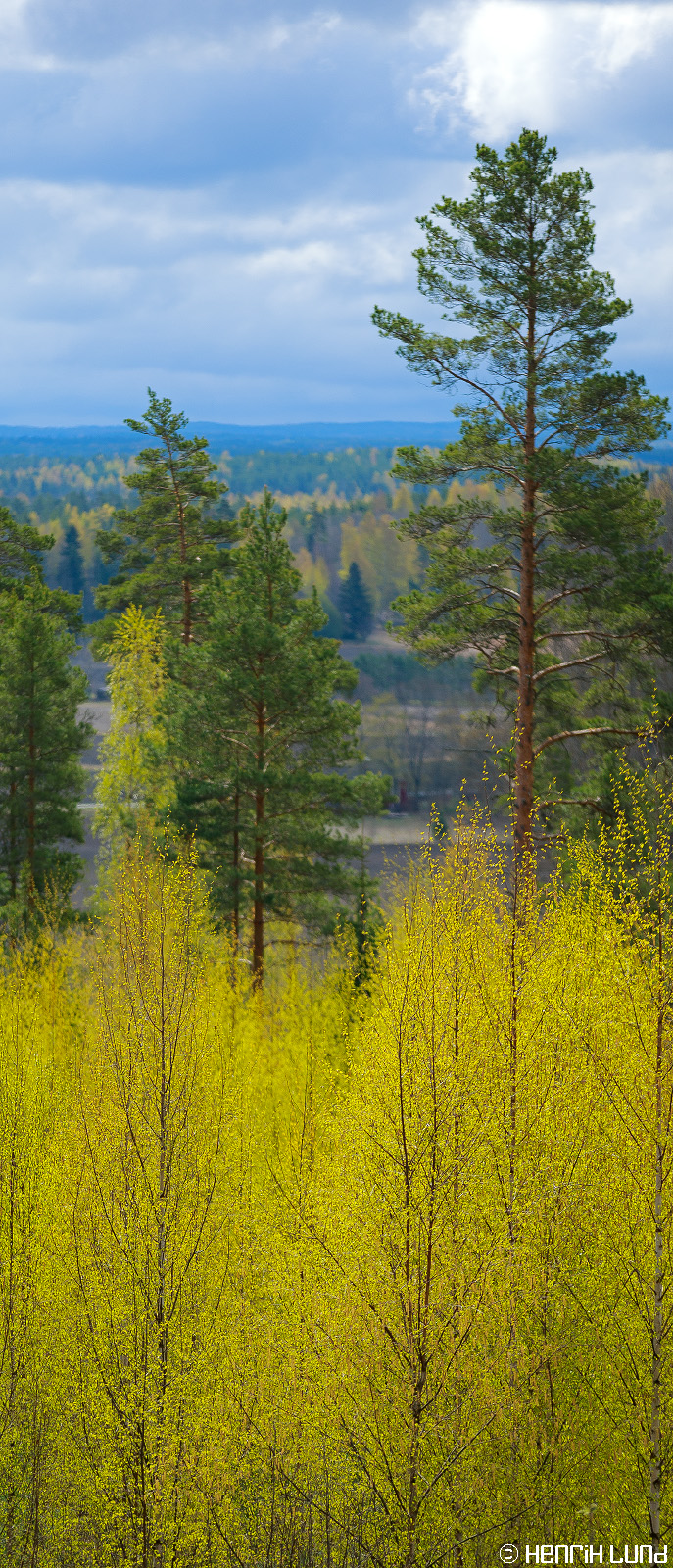 A spring forest in its best colors, Norrby, Lappträsk, Finland, May 2014.