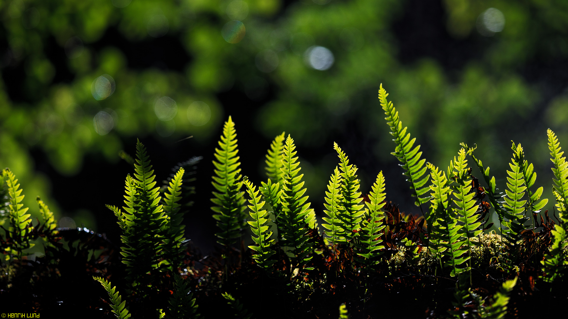 Backlit fern on midsummer morning. Lappträsk, Finland, June 2014.