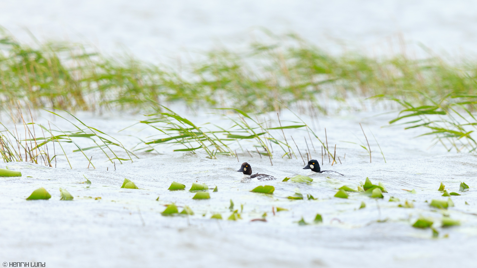 Common goldeneyes swimming in the rain. Lappträsk, Finland, May 2014.