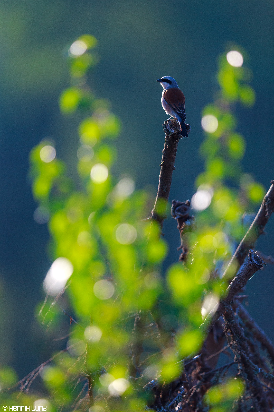 A red-backed shrike backlit in the morning light. Lappträsk, Finland, May 2014.