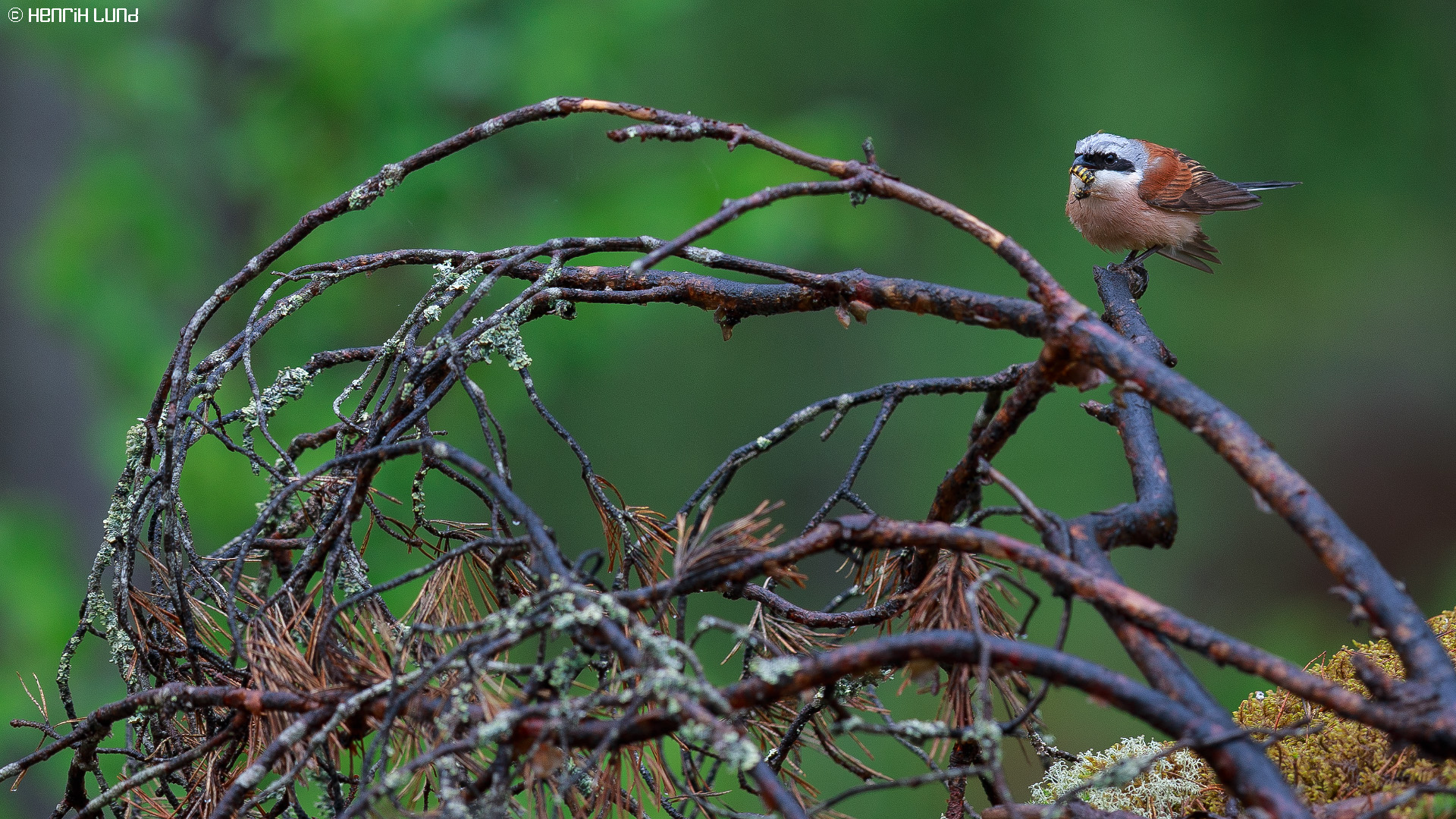 A red-backed shrike with a wasp as a prey. Lappträsk, Finland, May 2014.