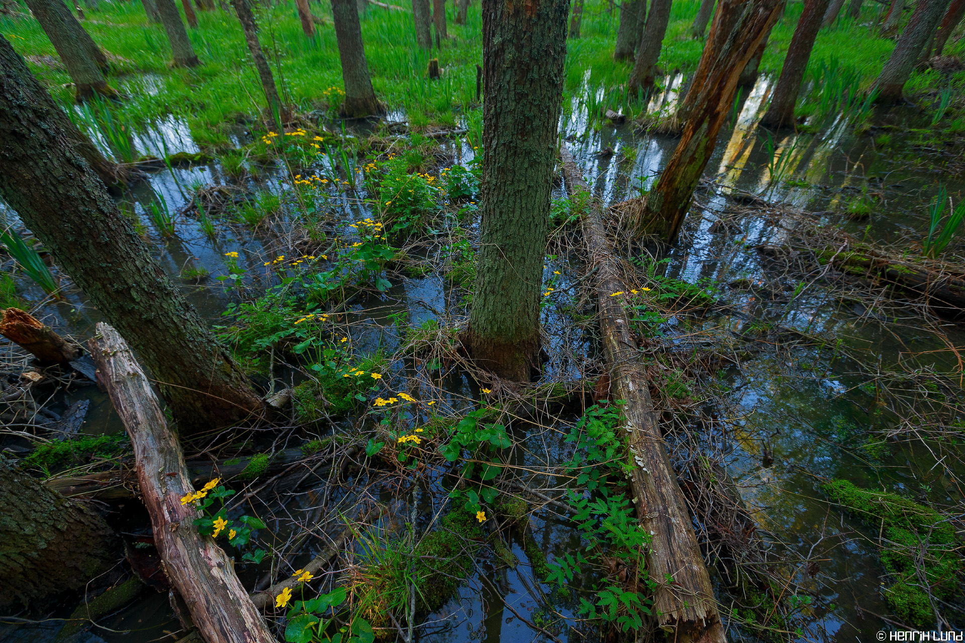 Marsh marigold in the swamp. Liljendal, Lovisa, May, 2014.