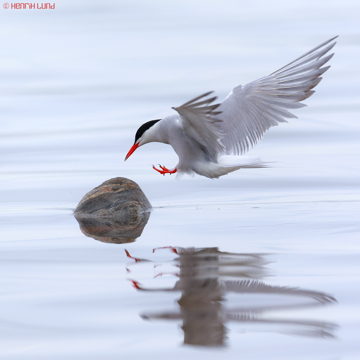 A common tern landing. Lappträsk, Finland, June 2014.