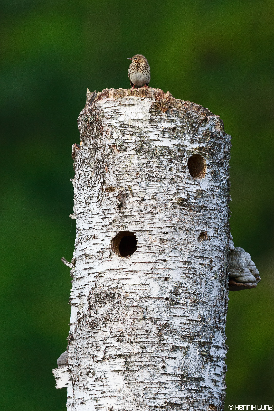 A tree pipit on top of a birch-apartment. Lappträsk, Finland, May 2014.