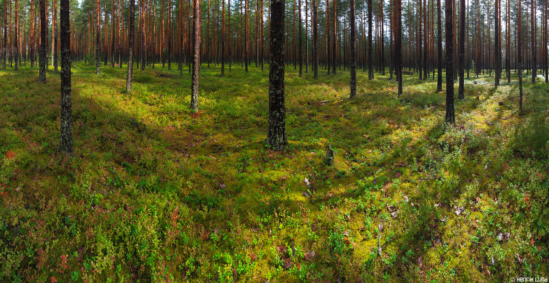 Panorama view over pine forest in Andersby, Lovisa, Finland. August 2014.