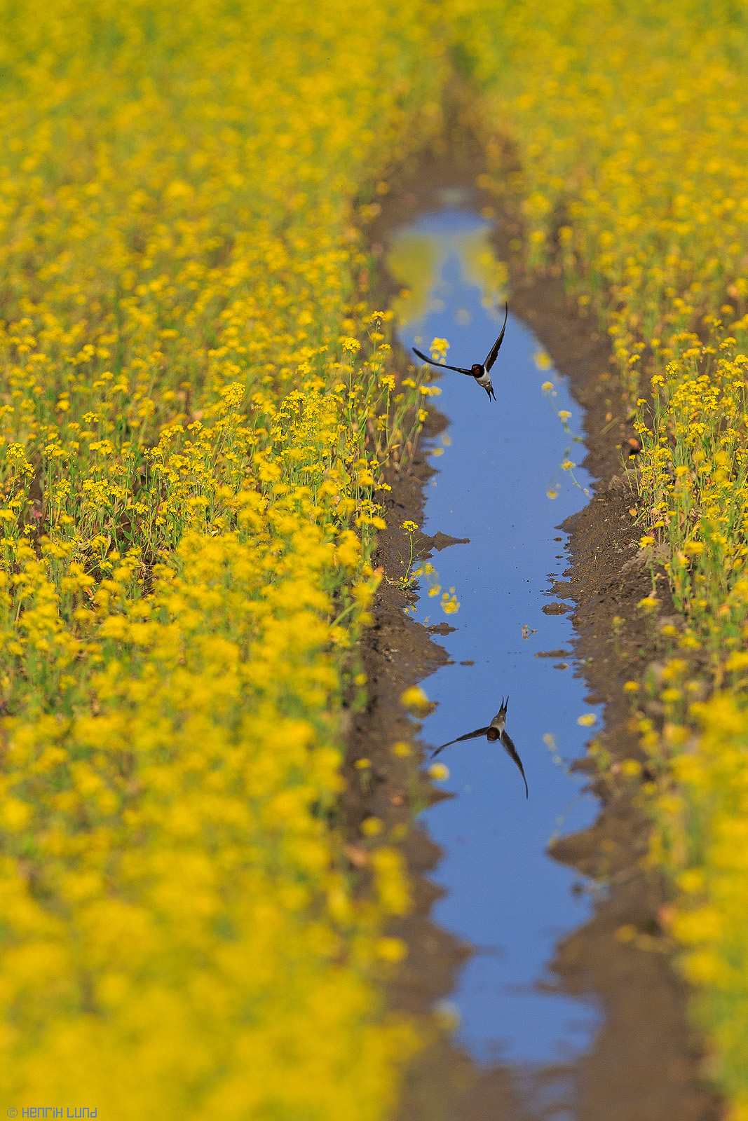 A barn swallow taking lifting after a dive into a waterhole in the rapeseed-field. Lovisa, Finland, July, 2014.