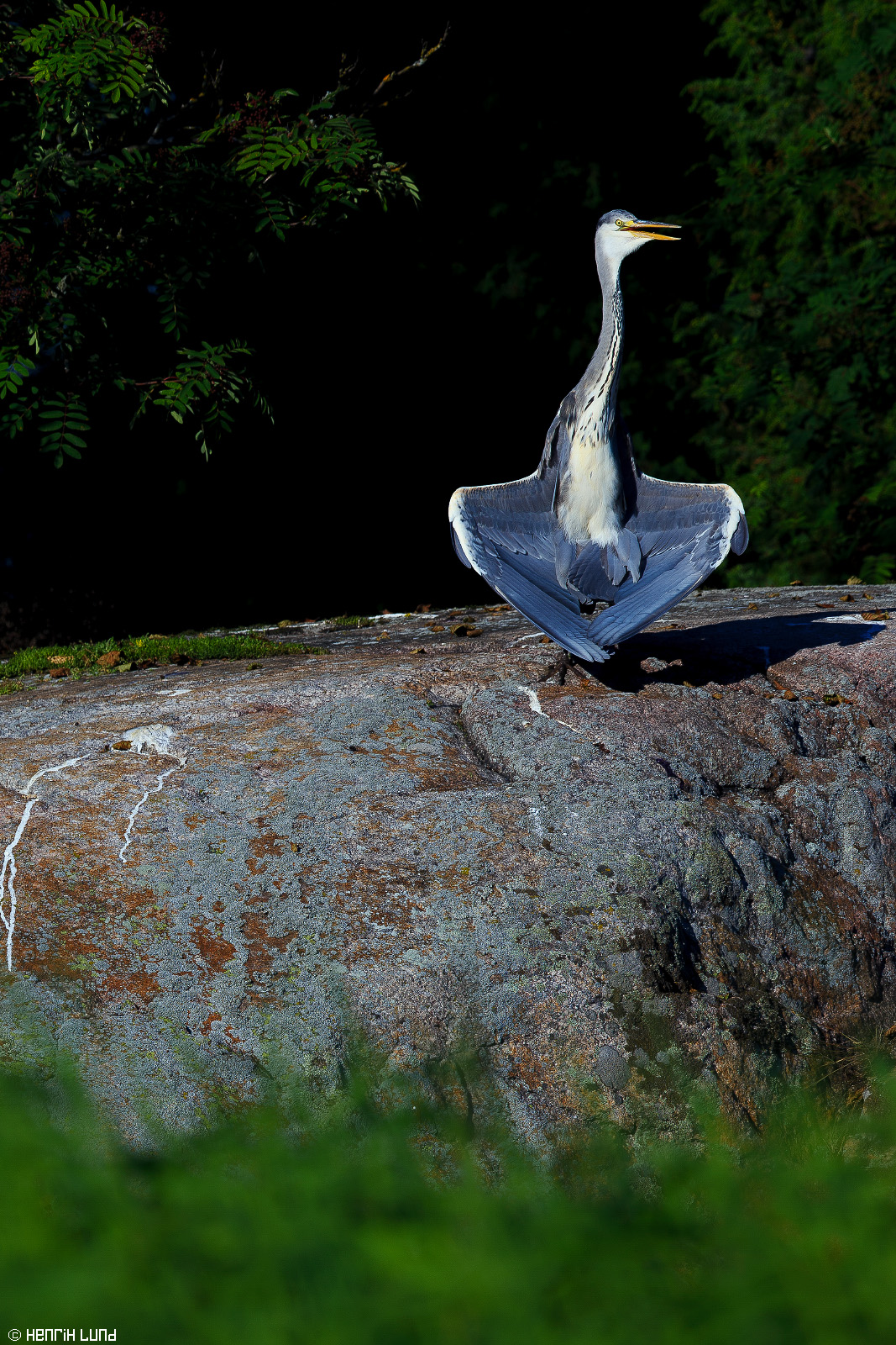 A grey heron drying its wings in the evening sun at Linnarvik, Sarfsalö, Lovisa. Finland. July, 2014.