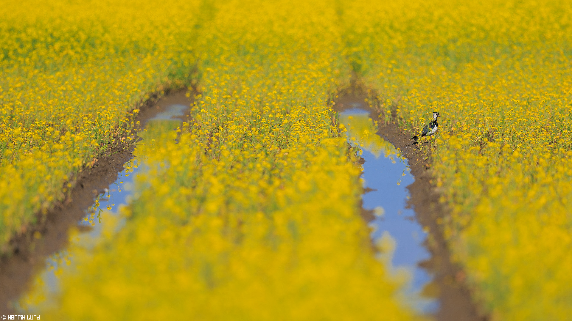 Northern lapwing enjoying a waterhole in the rapeseed-field. Lovisa, Finland, July, 2014.
