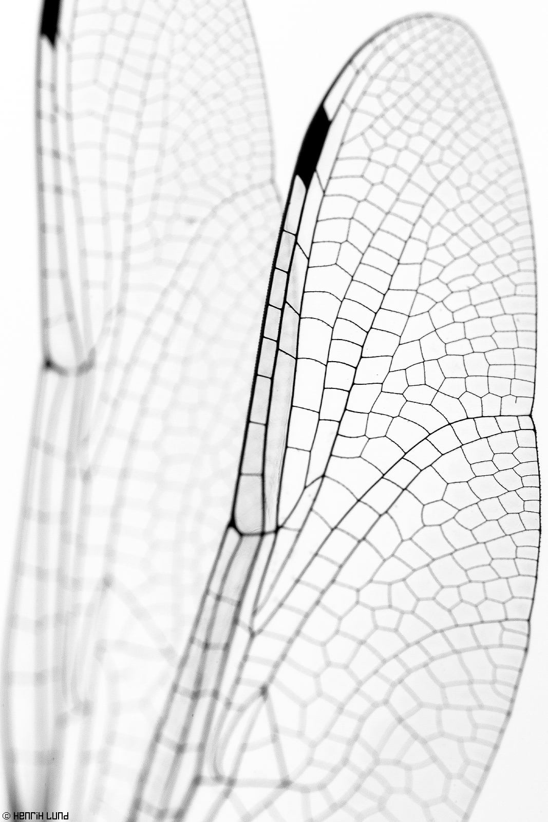 Wings of a dragonfly in detail - converted to BW. Bodö, Borgå, Finland. July, 2014