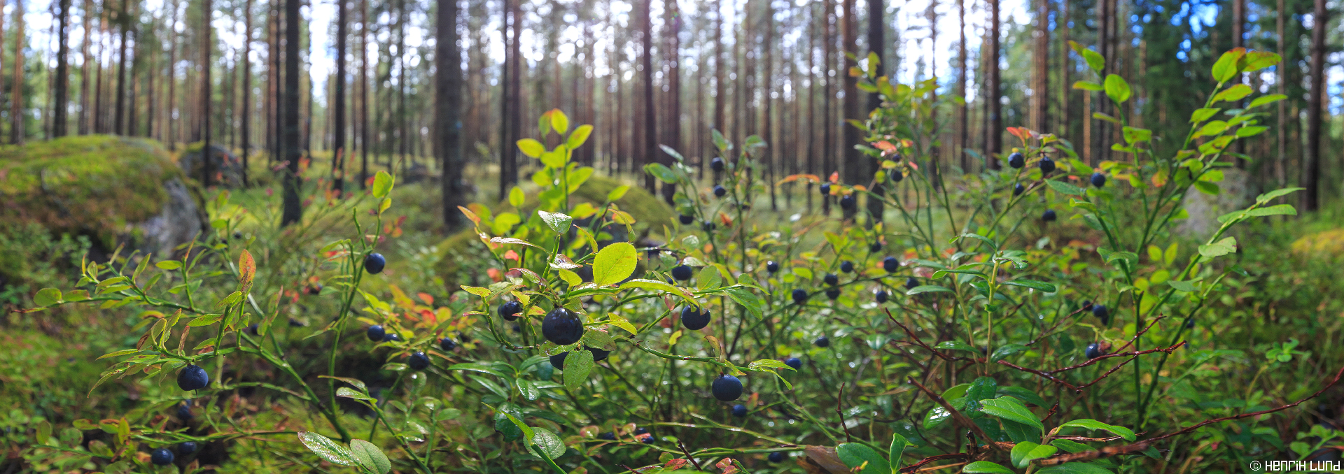 Panoramic view of the blueberry-forest, Korsmalm, Lappträsk, Finland. August, 2014