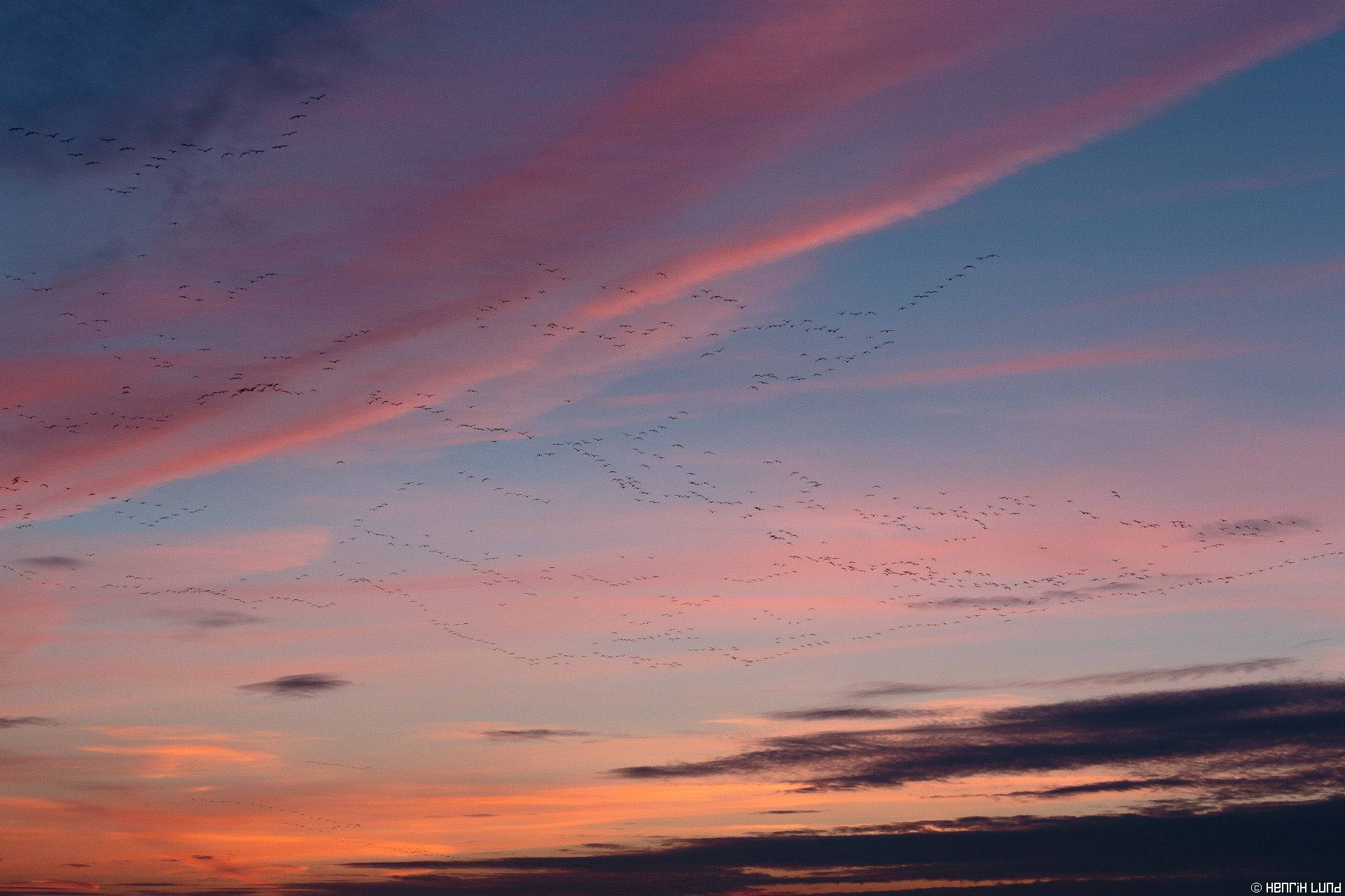 Thousands of geese flying over to land on the lake for the night. Lappträsk, Finland, October 2014.