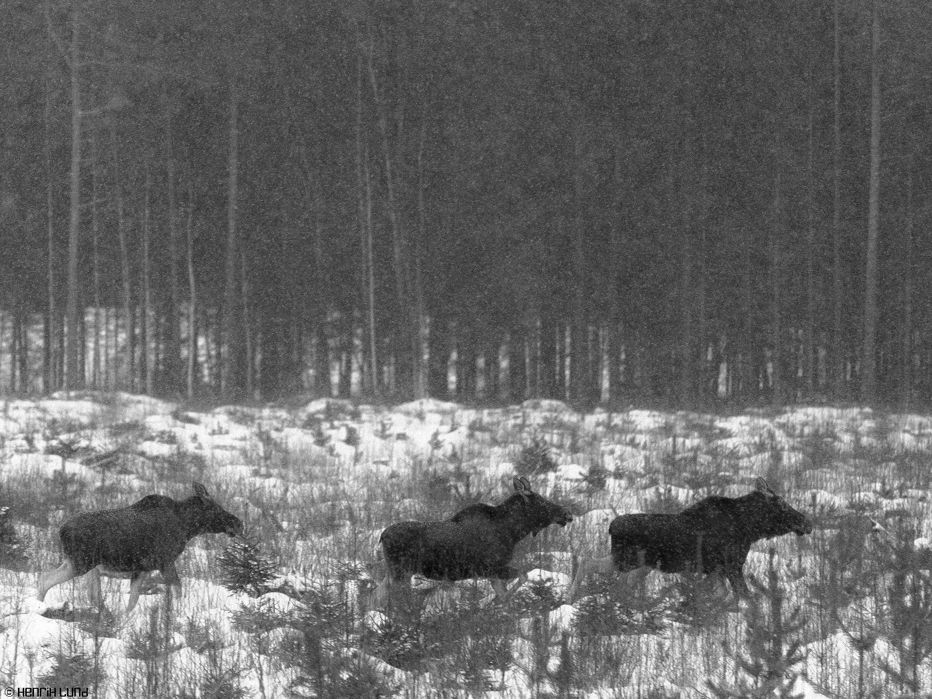 BW-version of three mooses running - more like the painting described in the text. Somerniemi, Finland,January, 2015.