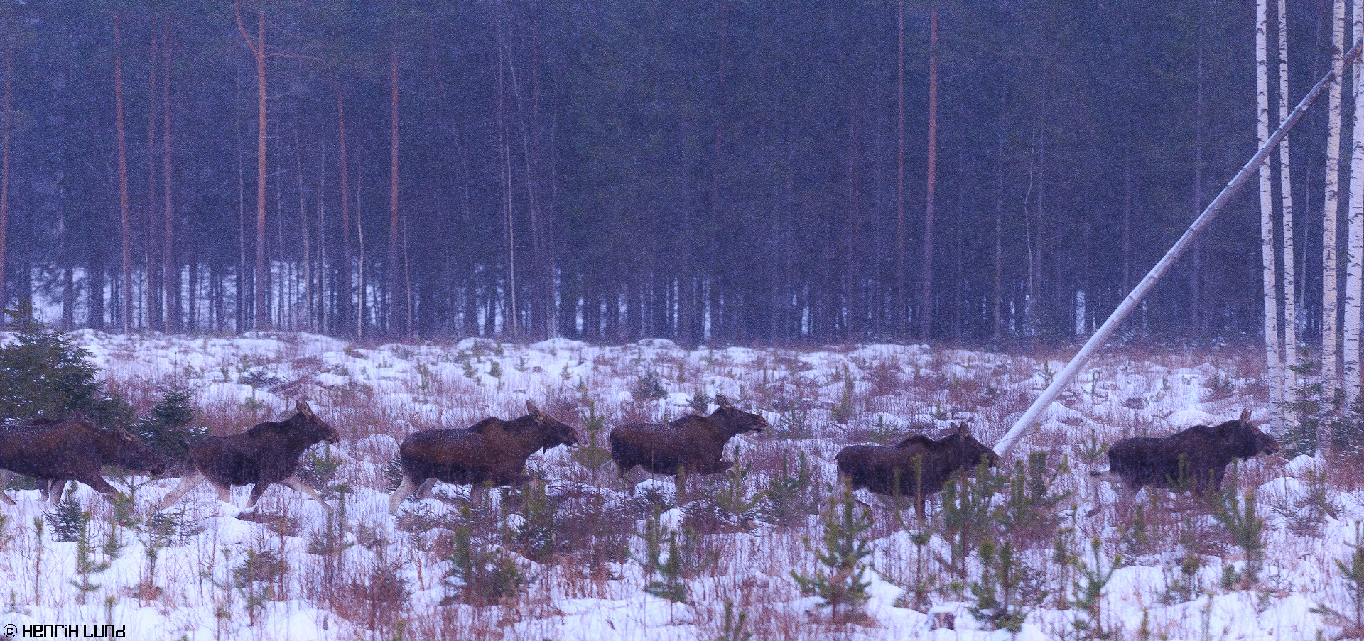 7 mooses on the run in the morning snowfall. Somerniemi, Finland, January 2015.
