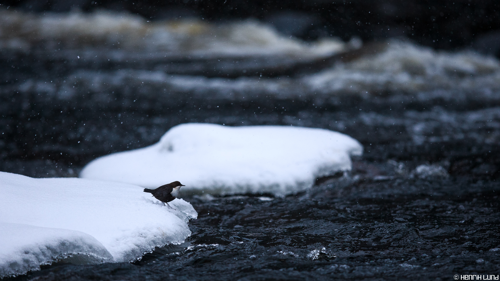 White-throated dipper in Myllykoski rapids in Kouvola. December 2014.