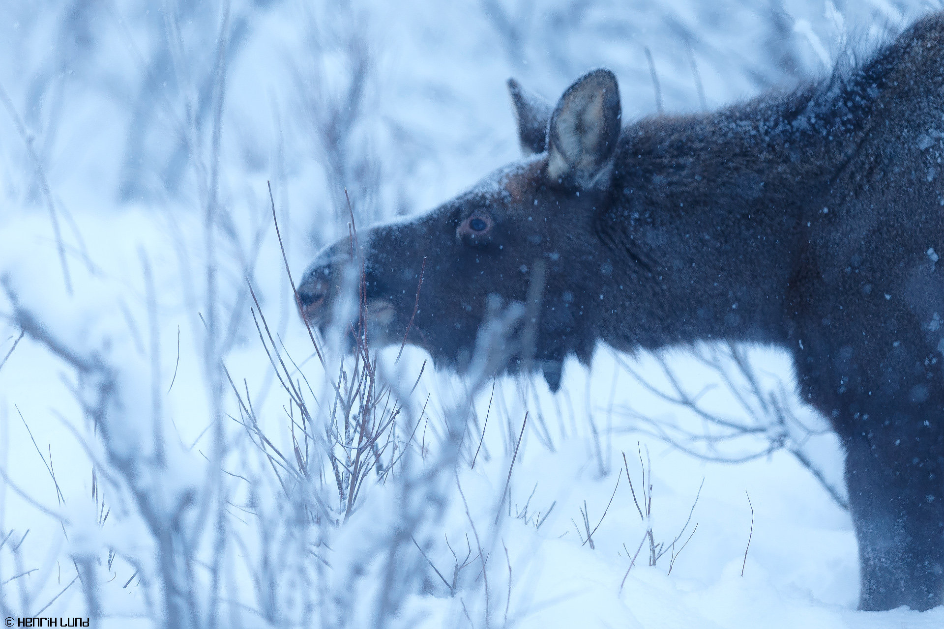 Moose eating branches in Laukkuluspa, Kiruna, Northern Sweden. January, 2015.