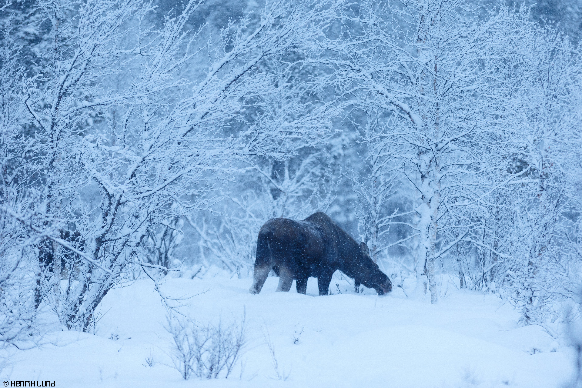 A moose feeding on birch in Laukkuluspa, Kiruna, Northern Sweden, January 2015.