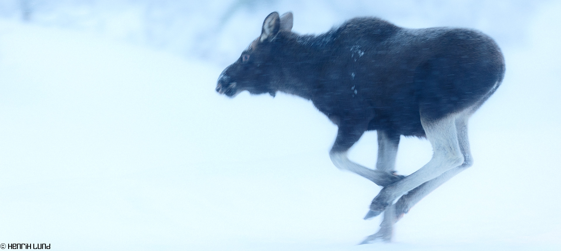Moose on the run, Laukkuluspa, Sweden, January 2015.