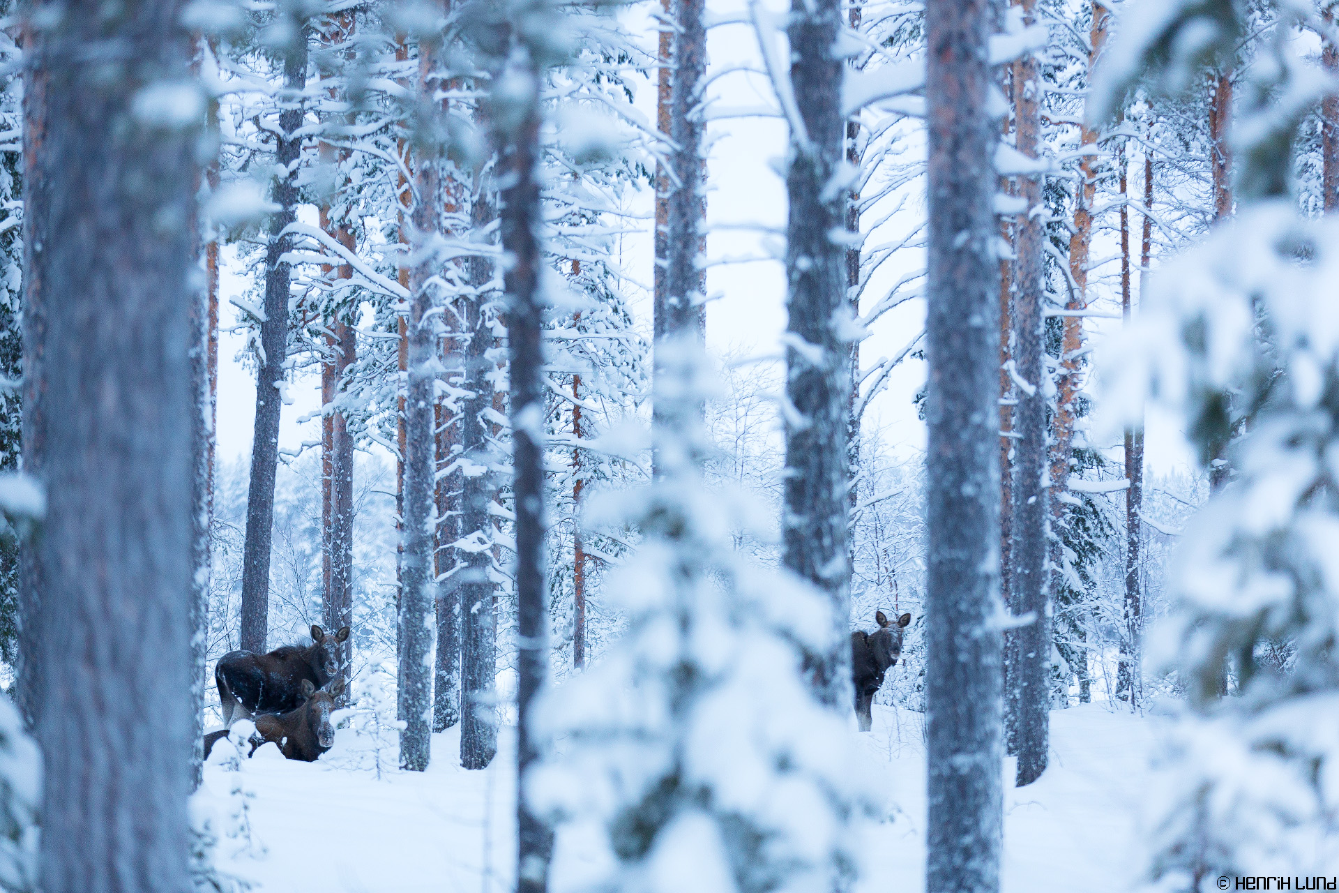 Three mooses in the forest near Pajala airport, Swedish lapland, January 2015.