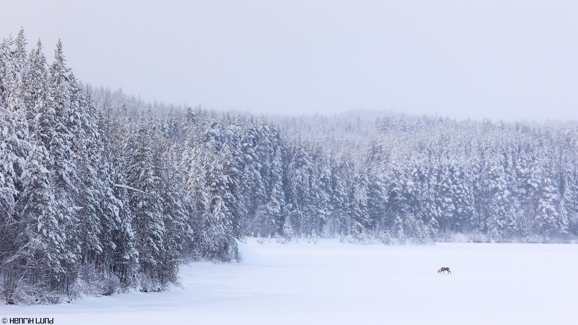 Lonely reindeer on the ice of Skellefteälven in Renström. Sweden. January 2015.