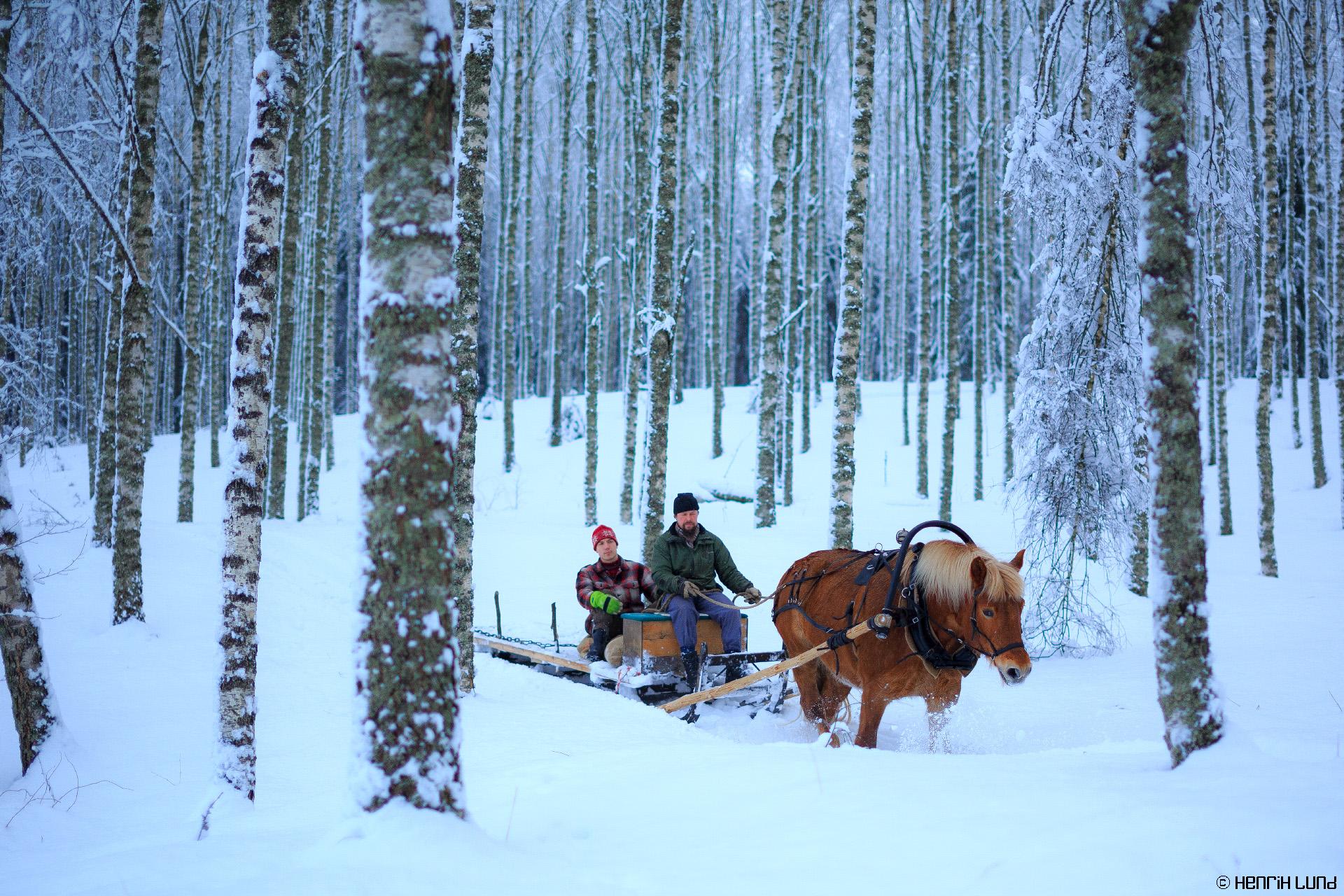 Forestry with horse - timbertransport. Mäntsälä, Finland, February, 2015.