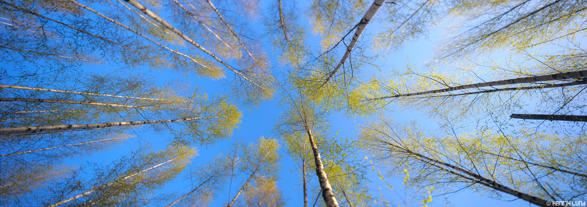 Spring in the birchforest - a view upwards. Tilted and shifted panorama. Norrby, Lappträsk, Finland, may 2015.