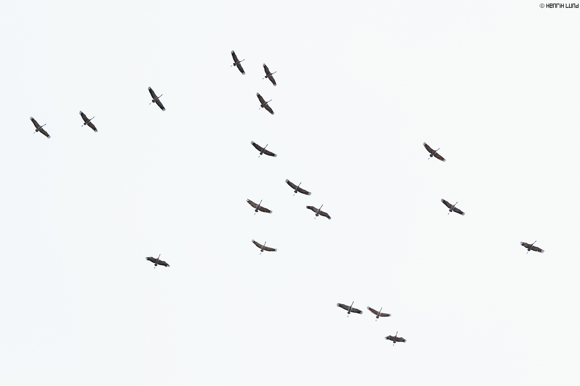 Common cranes circulating before landing in early april. Helsinki, Finland, April 2015.