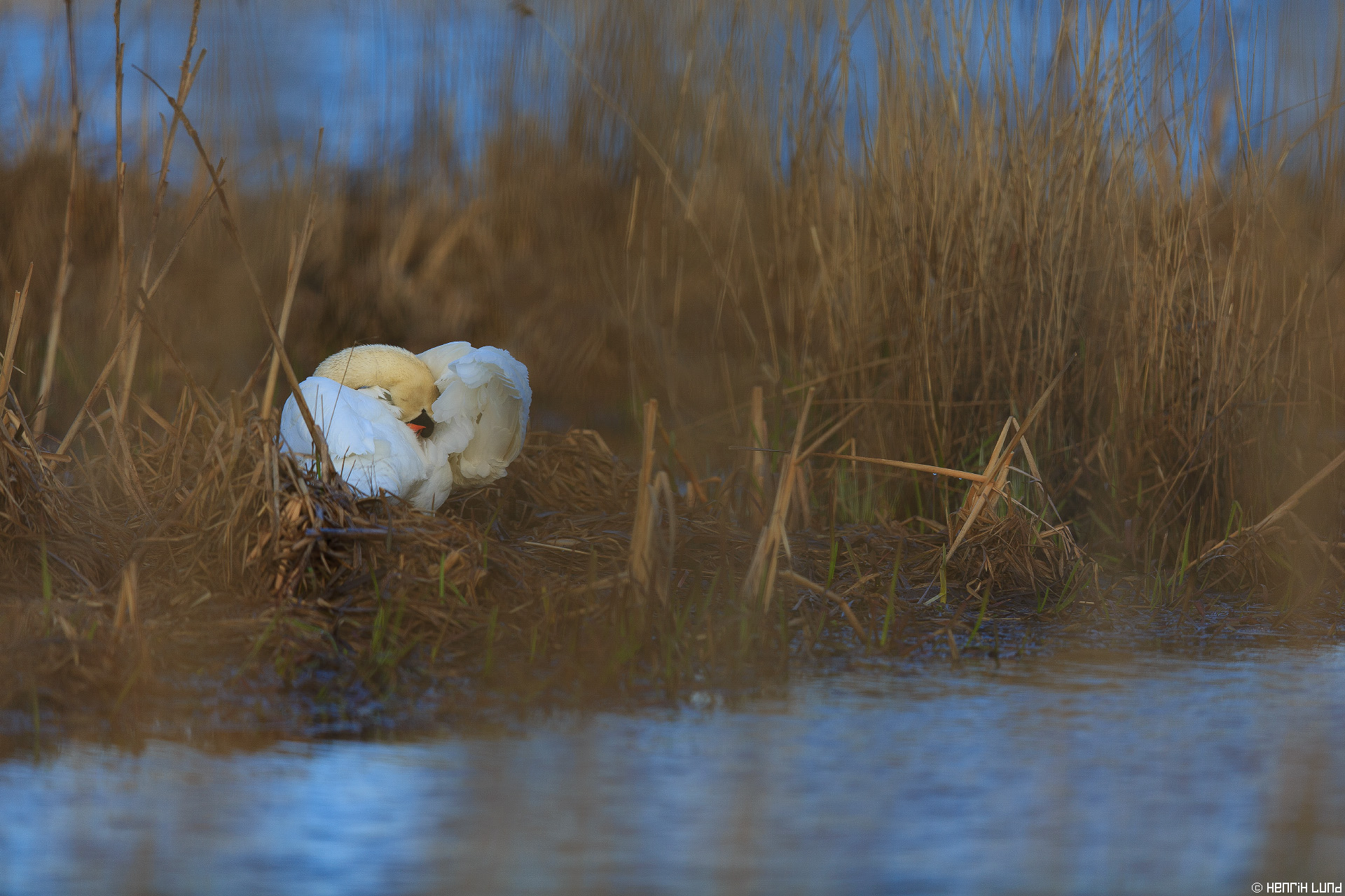 Mute swan preparing its nest. Norrby, Lappträsk, Finland, May 2015