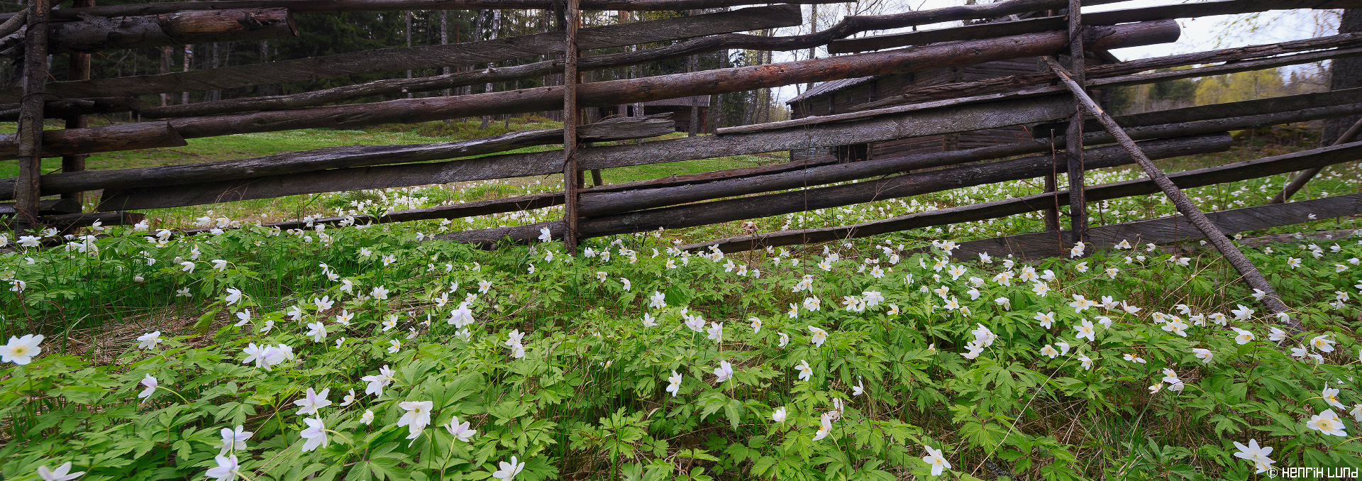 Wood anemones in front of a traditional woodpole fence. Immersby, Sibbo, Finland, May 2015.