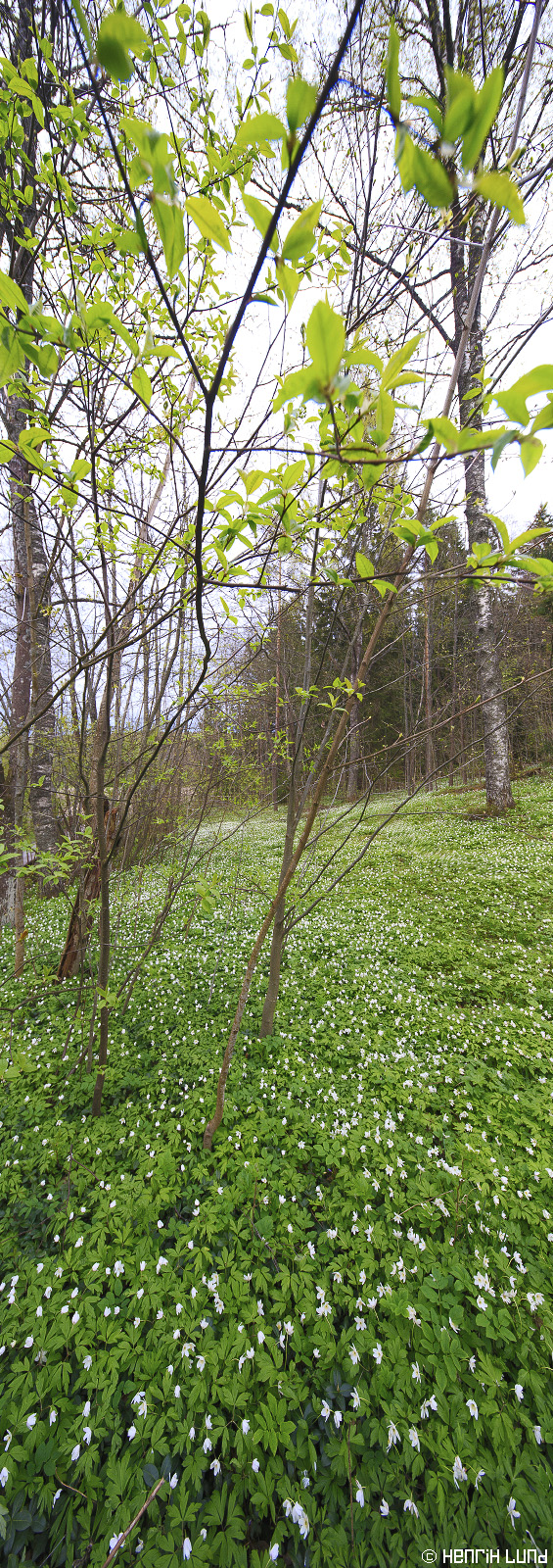 Wood anemones in a small meadow. Immersby, Sibbo, Finland, May 2015.