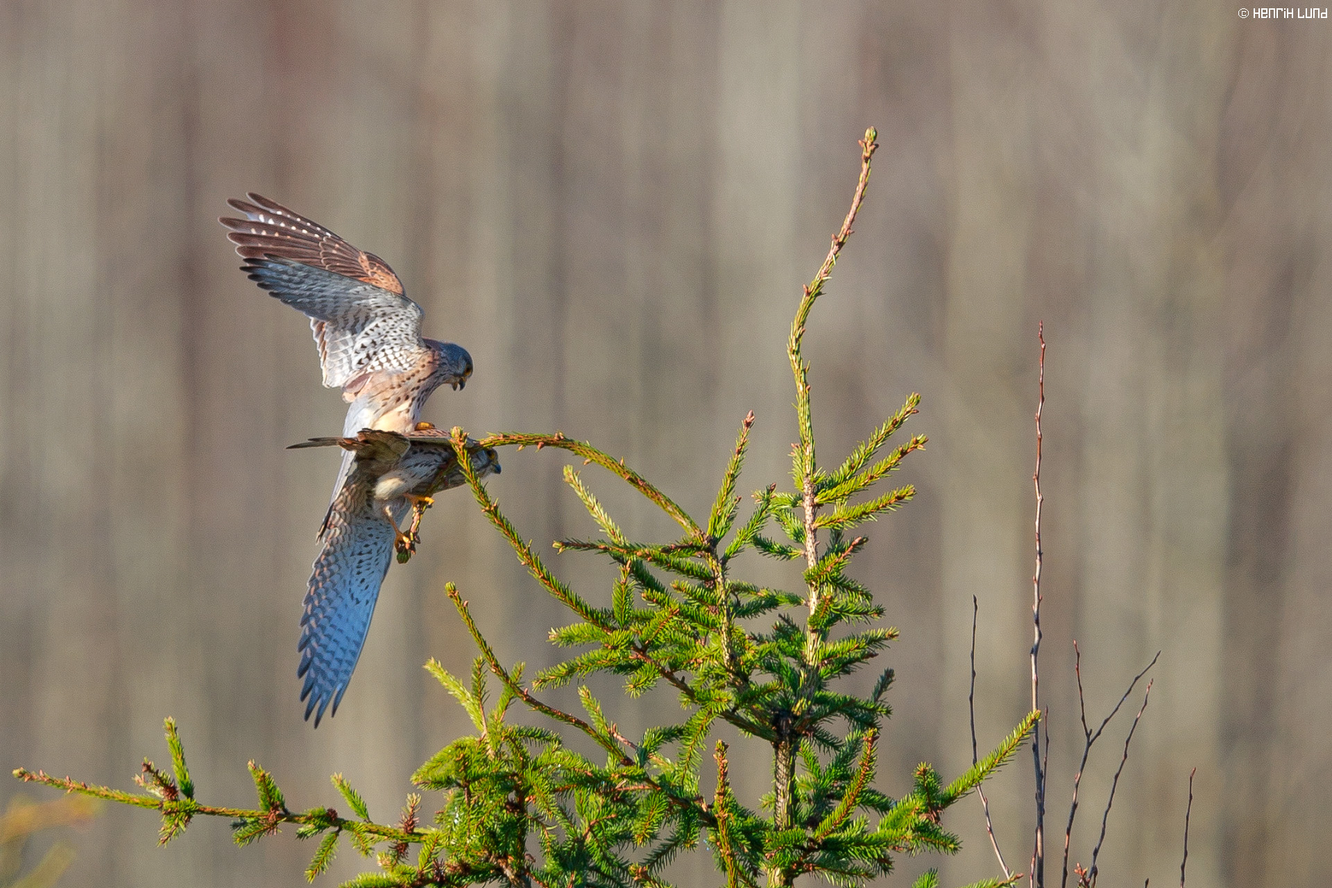A couple of common kestrels mating. Norrby, Lappträsk, Finland, May 2015.
