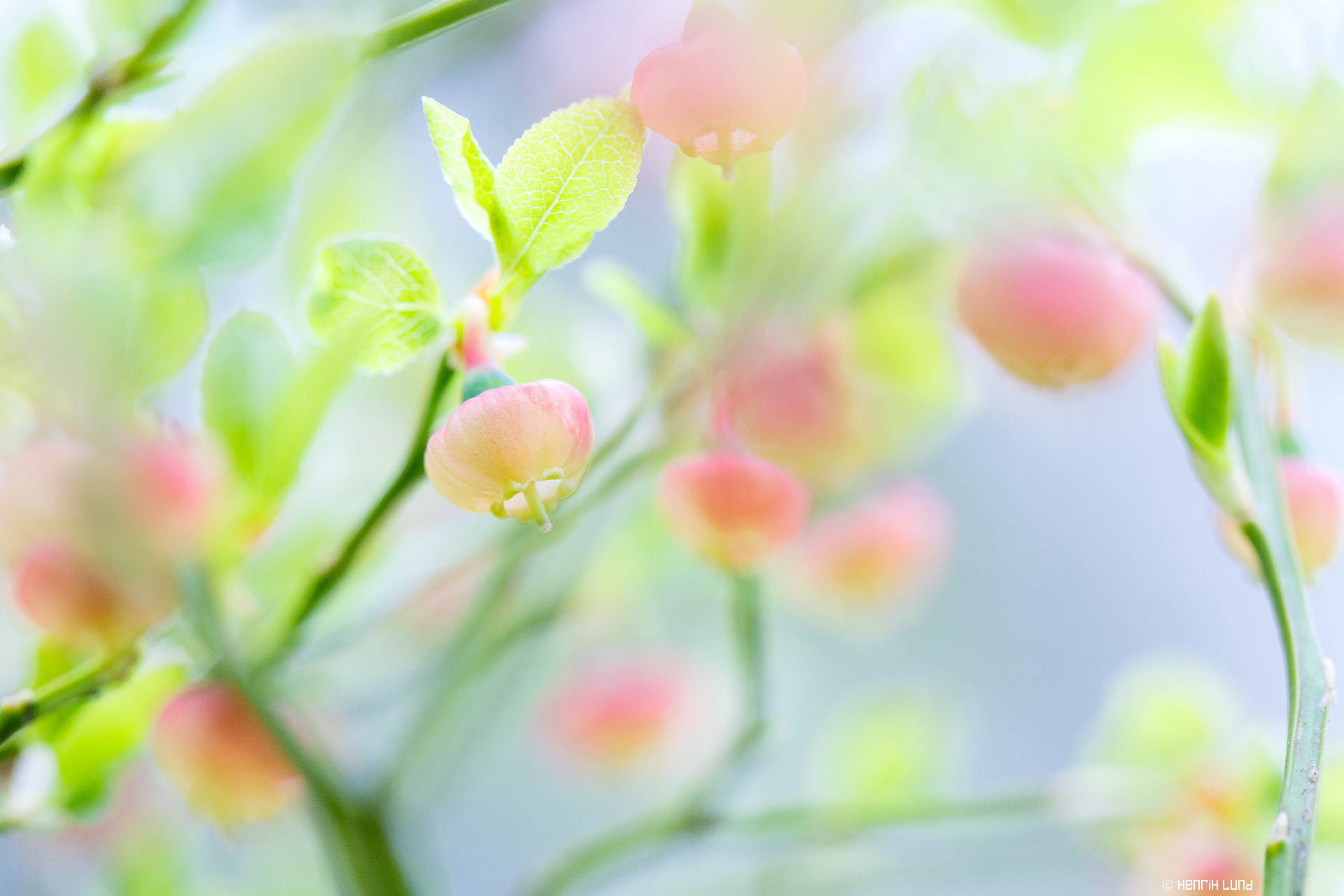 Blueberries blossoming. Lappträsk, Finland, May 2015