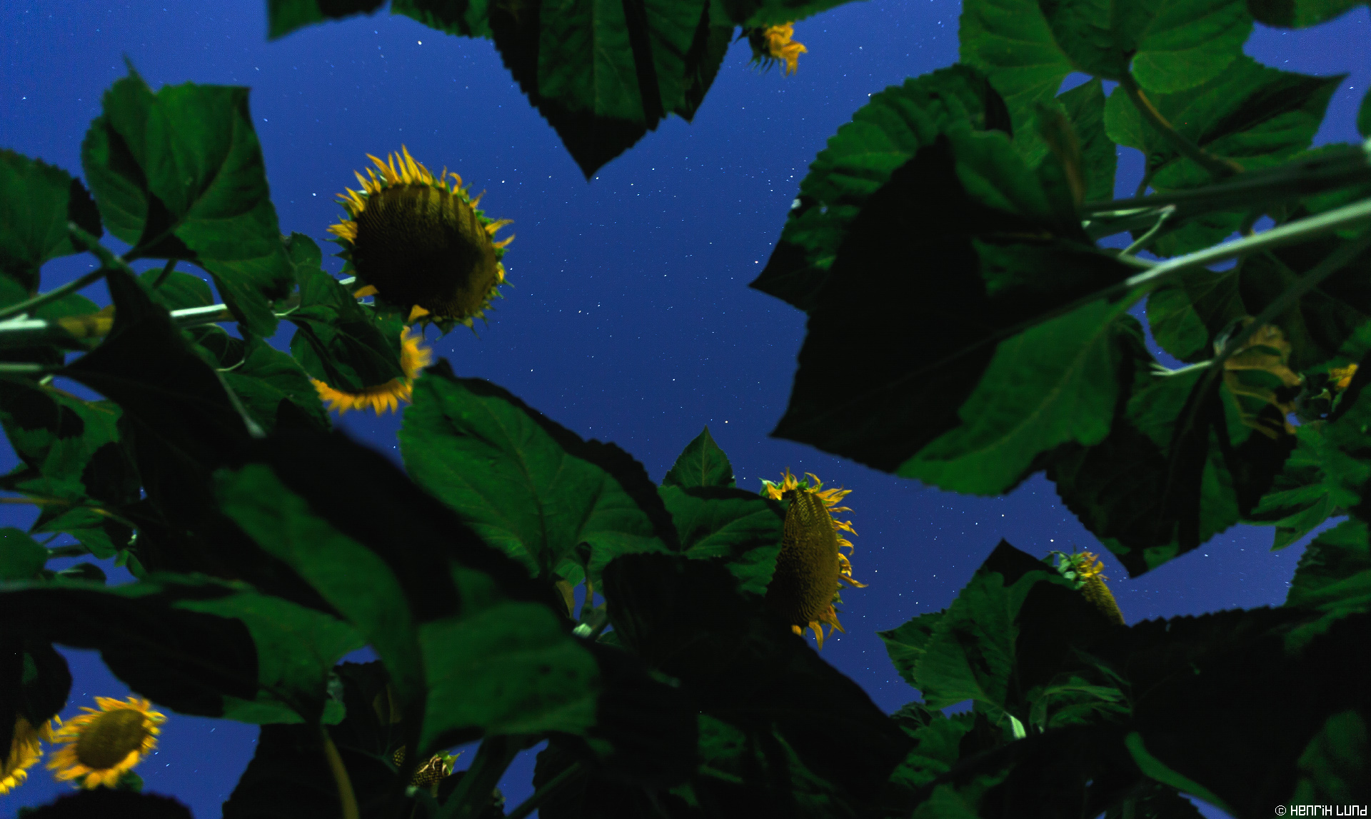 Sunflower field at fullmoon with stars. Osimo, Marche, Italy. July 2015.