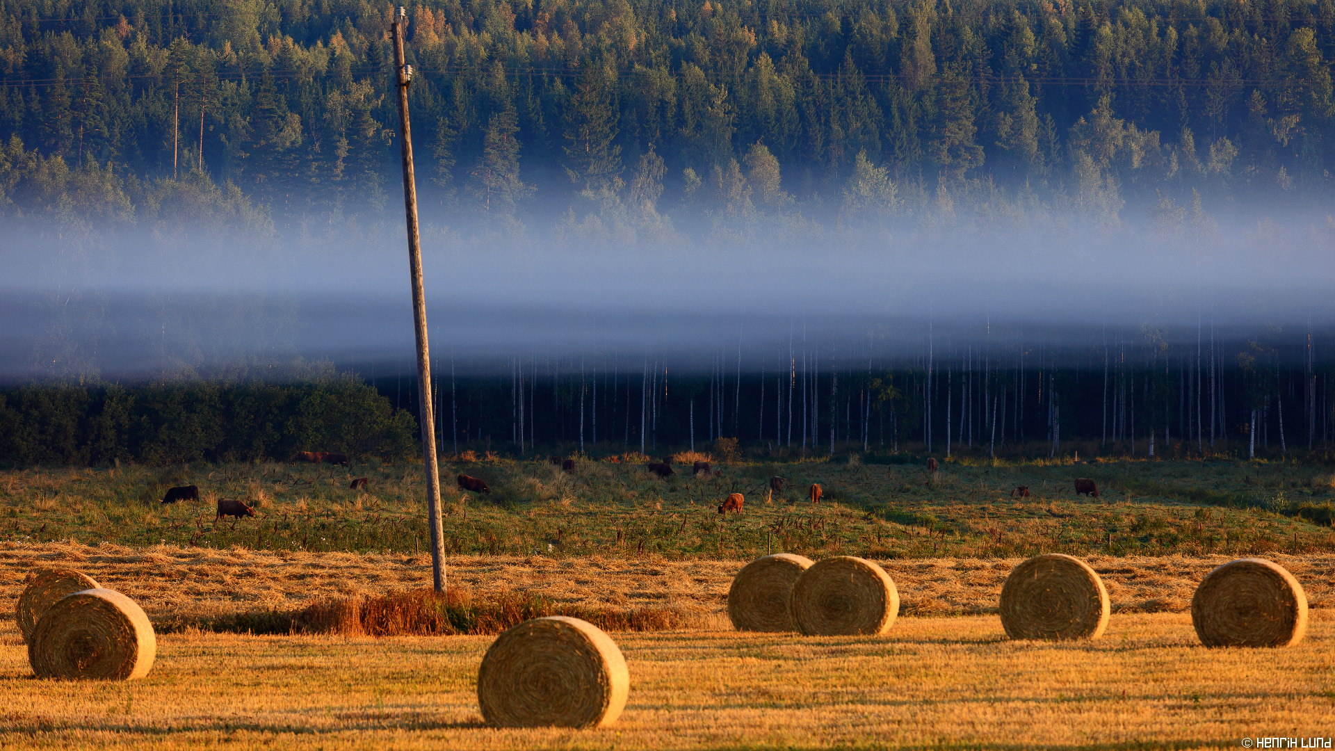 Autumn morning with the cattle in Porlammi, Lapinjärvi, Finland. September 2015.