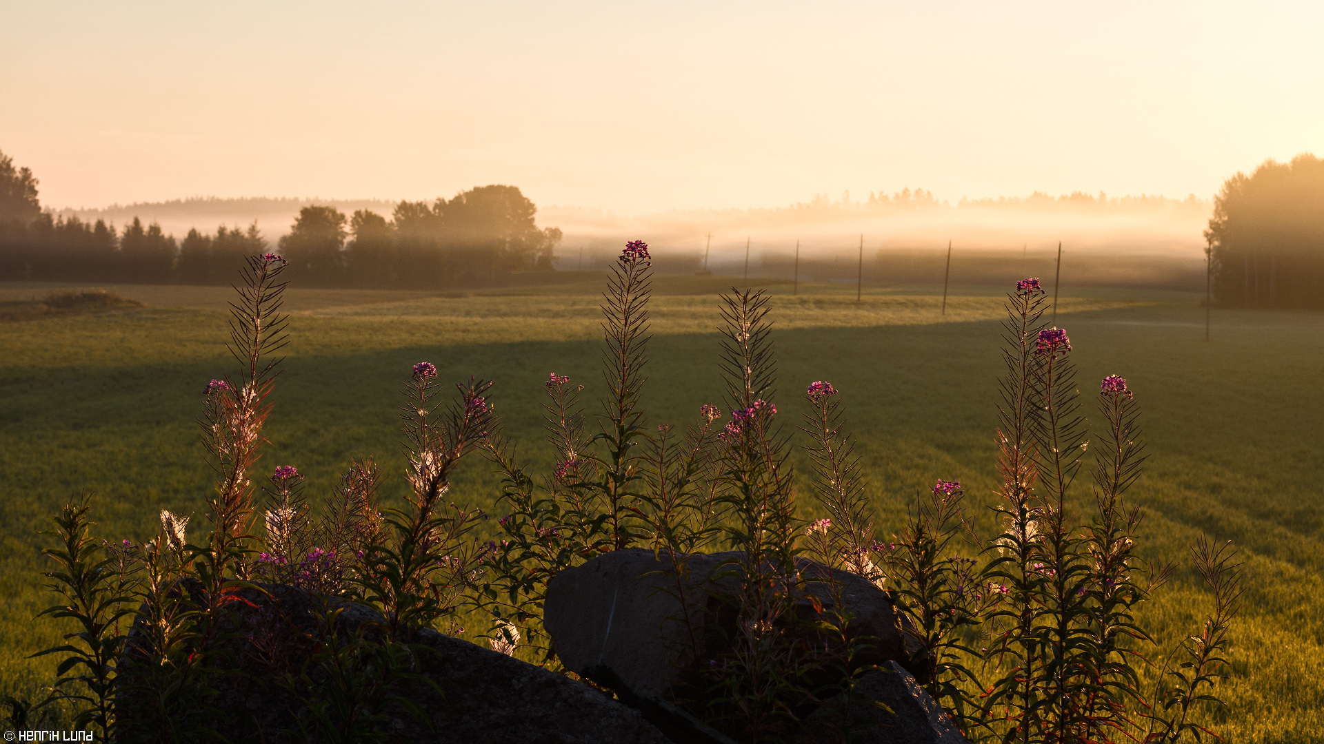 Fireweed backlit in the autumn misty morning. Porlammi, Lapinjärvi, Finland, August, 2015.