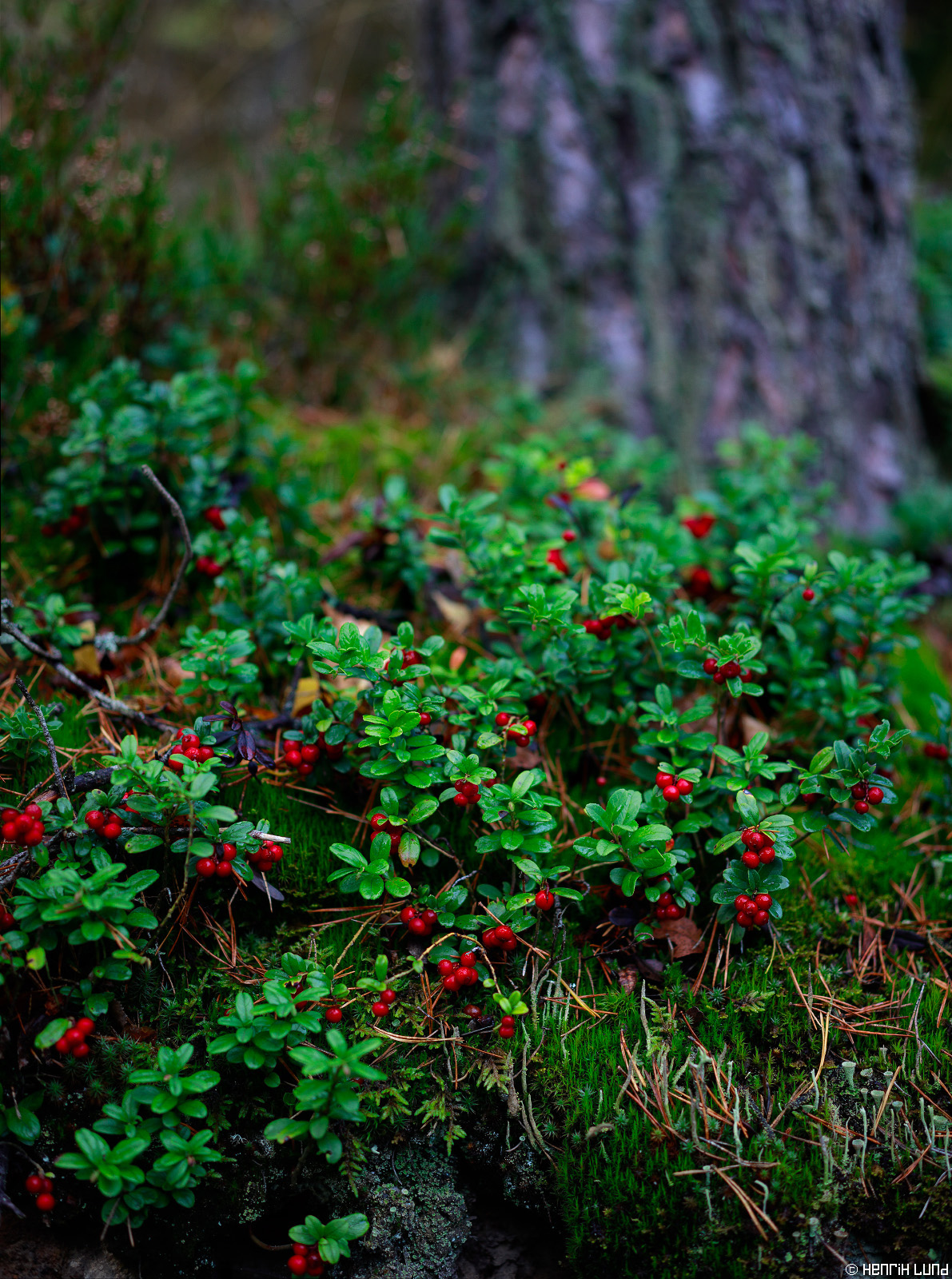 Vertical panorama shot of lingonberries. TS-E with shift and tilt used and 3 images stitched together. Immersby, Sibbo, Finland. September 2015.