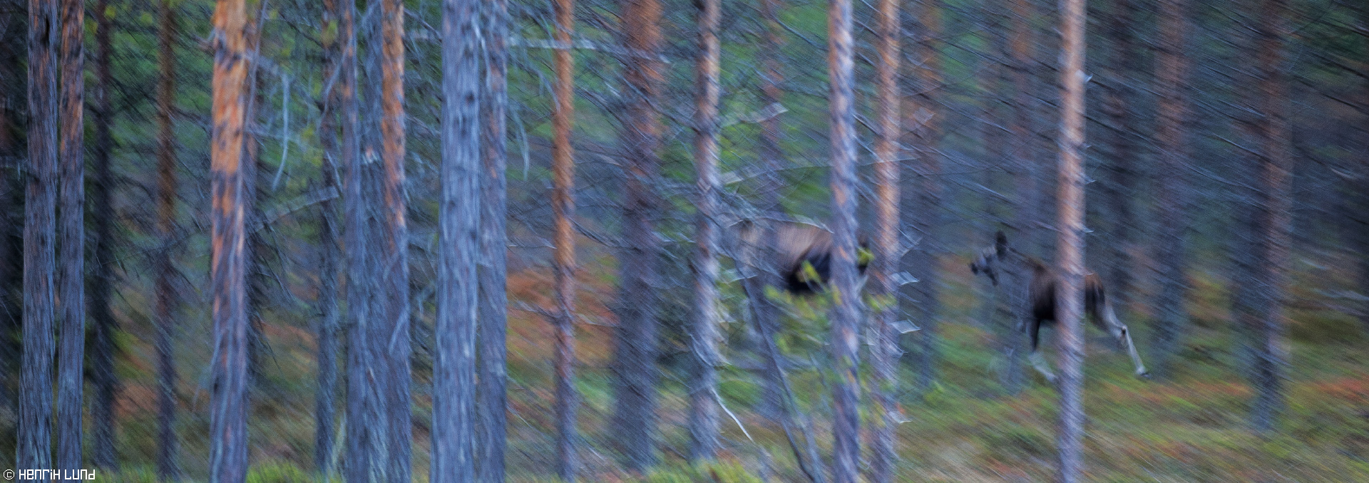 Two mooses running into the forest close to Vindeln in Västerbotten, Sweden. October 2015.